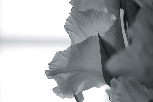 Gladiolas, Black and White