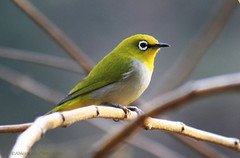Oriental White-eye (Abhijit Joshi) Tags: india birds canon maharashtra pune birdwatcher sinhgad orientalwhiteeye zosteropspalpebrosus 55250 1000d atkarwadi  zosteropspapebrosus
