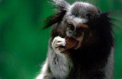 Macaco quer biscoito (frangosbar) Tags: macaco monkey animal animais animals frangosbar fun natural heat divertida engraada funny engraado frango rodrigo soares profissional  squirrel squirrelmonkey cookie biscoito bolacha mico canon 1000d xs mestre funin freebits