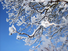Frosty (Lisa Swahn) Tags: blue winter sky snow cold tree ice sweden gotland slite
