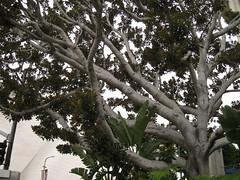 IMG_7440 (gfixler) Tags: tree fig ficus figtree chinesebanyan hugetree largetree curtainfig ficusmicrocarpa indianlaurel ficusnitida ficusmicrocarpanitida