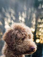 Puppy Love: 7/52 (Mark Muschett Photography) Tags: autumn dog goldendoodle sampson standardpoodle lensbaby20 52weeksfordogs 7~52 autumn~7 heartshapedaperturedisc