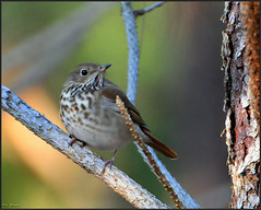 Hermit Thrush (Roy Cohutta) Tags: brown mountains bird nature ecology roy birds georgia photography nikon wildlife north birding conservation american swamp albany aba nikkor habitat society hermit gos thrush association toa physiography manfrotto dougherty wimberley buckhorn audubon lowepro cohutta d300 gilmer ellijay guttatus heth bird catgut catharus ornithological photography whitepath watcher ebird physiographic roybrown d300s watching chickasawhatchee roybrownphotography roycohutta
