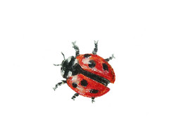Ladybird ~ Lieveheersbeestje (Sigrid de Vries - Frensen) Tags: red bug insect drawing beetle spots ladybird ladybug dots lieveheersbeestje colouredpencil coccinellaseptempunctata sevenspotladybird zevenstippelig