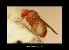 Fruit Fly (kidneri) Tags: macro canon rebel pentax takumar sigma super 55mm m42 reverse 18 55200mm xti 400d kidneri