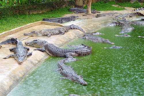 Langkawi Crocodile farm25