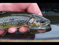 Brook Trout (lukeCphoto) Tags: fish flyfishing trout brookie brooktrout flyfishingphotography