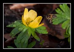 _DSC915191copyF (Full Moon Images) Tags: park winter flower gardens woodland bee snowdrops snowdrop chippenham aconite