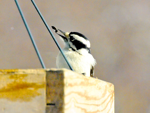 feb downy woodpecker III