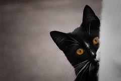Peek-A-Boo (ckeller82) Tags: city light portrait blackandwhite white black eye art love beautiful oregon cat portland nose blackwhite feline alone availablelight kitty follow whiskers caution ear lonely pupil followtheleader kittcat whteandblack