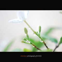 Purity (eltendero [OFF]) Tags: morning white flower garden droplets nikon fresh dew pure purity d60 kulay inspiredbylove sooc unexplored