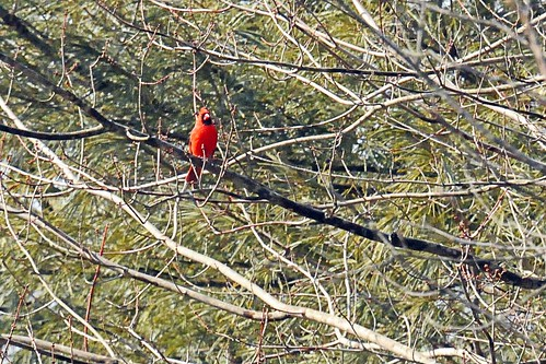 Northern Cardinal no snow