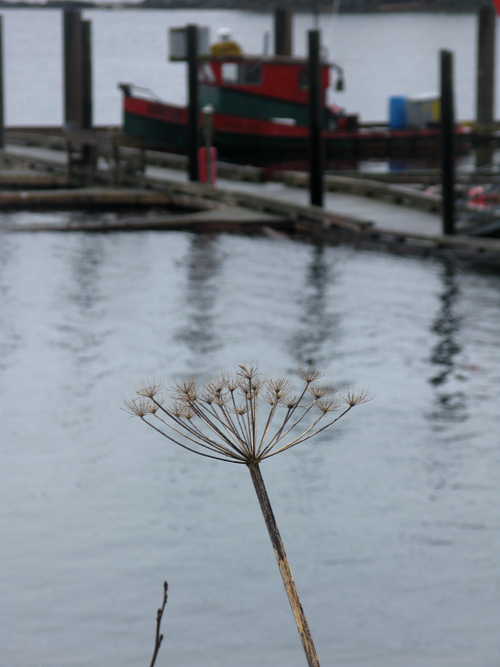 dead celery and Kasaan Harbor, Kasaan, Alaska