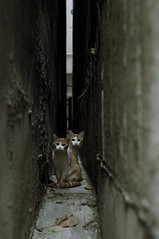 Brothers on the narrow path (H2@Japan) Tags: street japan cat tokyo nikon kitty    straycat d300  thecatwhoturnedonandoff