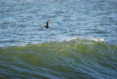 Long-Tailed Duck (Billtacular) Tags: winter bird nature outdoors newjersey wildlife birding nj birdwatching atlanticocean thewonderfulworldofbirds