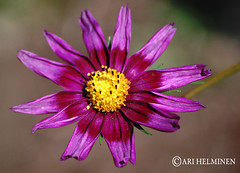 Purple star (Ari Helminen) Tags: flower colors yellow mexico star purple relaxing d80