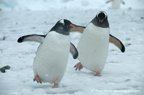 Dancing Gentoo Penguins