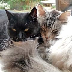 Close friends (Cajaflez) Tags: pet cute cat kat chat tuxedo mainecoon katze cortez gatto huisdier gatti kater floris lief mfcc thegalaxy kissablekat bestofcats kittyschoice vg~catsgallery boc0510 rememberthatmomentlevel1
