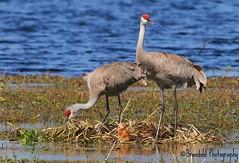 Sandhill Family @CBBR - IMG_9018 (2) (Brandohl Photography [Wendy]) Tags: birds animals nest florida crane wildlife reserve chick lakeland sandhill thewonderfulworldofbirds circlebbarreserve