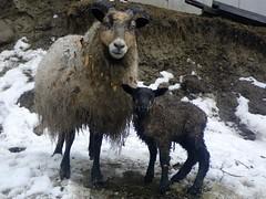 First lamb