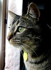 looking out on the morning rain.. (Darwin Bell) Tags: animal cat eyes feline roosevelt housecat abigfave impressedbeauty