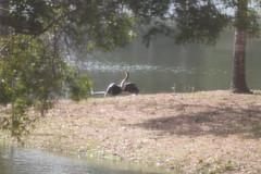 Water Turkey
