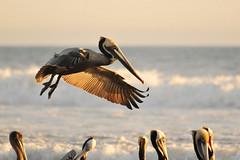 Brown Pelican Landing (Mike Forsman) Tags: ocean bird beach nature flying flight pelican landing venturacounty seabird bif birdinflight californiabrownpelican pelecanusoccidentalis vre californiausa 70300vr nikond300 slblanding venturariverestuary