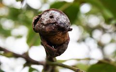 Walnuss (naturalismus) Tags: na juglansregia cdek commonwalnut