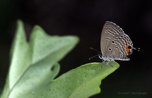 曲紋紫灰蝶 | chilades pandava (cycad blue butterfly)