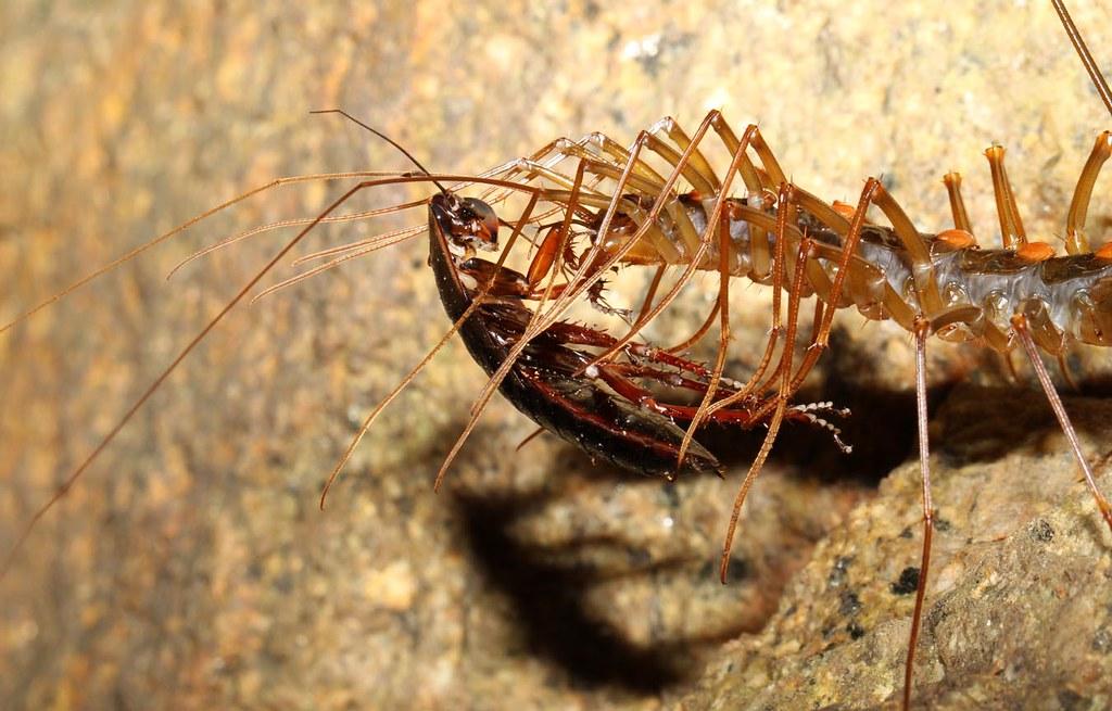 the world 39 s best photos of centipede and scutigeromorpha flickr hive mind. Black Bedroom Furniture Sets. Home Design Ideas