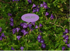 HELP flower (Mary Thorman) Tags: flowers flower costarica tropical wishbone torenia
