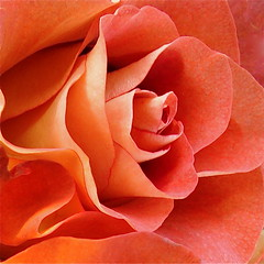 Affection (AlyeceT) Tags: red flower macro rose botanical petals naturesfinest flowerscolors goldstaraward goldstarawardgoldmedalwinner