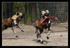 African Wild Dogs / Afrikanische Wildhunde (08) (Georg Sander) Tags: pictures wild wallpaper dog dogs zoo photo foto shot image photos shots african picture perro photograph fotos bild capture duisburg garten bilder captures africano lycaon zoologischer aufnahmen salvaje aufnahme pictus wildhunde afrikanischer wildhund afrikanische wildehond hyänenhund cynhyène gerald1311 hyänenhunde wildehonds