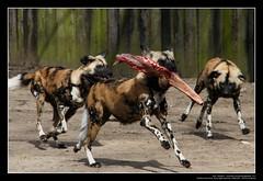 African Wild Dogs / Afrikanische Wildhunde (10) (Georg Sander) Tags: pictures wild wallpaper dog dogs zoo photo foto shot image photos shots african picture perro photograph fotos bild capture duisburg garten bilder captures africano lycaon zoologischer aufnahmen salvaje aufnahme pictus wildhunde afrikanischer wildhund afrikanische wildehond hyänenhund cynhyène gerald1311 hyänenhunde wildehonds