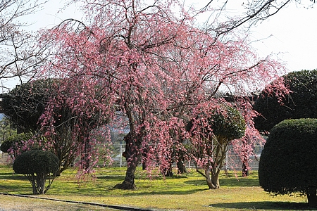 三永水源地 枝垂桜が満開に