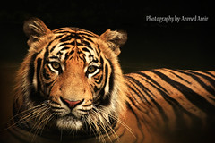 looking at me?? ( Ahmed Amir) Tags: portrait slr beautiful canon zoo photo photographer photos unique tiger sigma amir unclassified ahmed bengali specanimal 40d platinumphoto