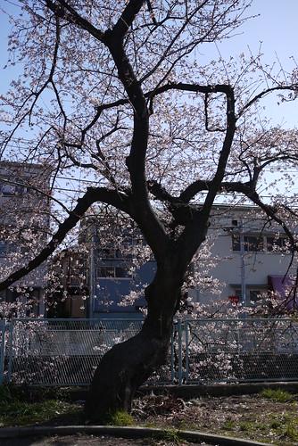 桜ってのは艶めかしいね