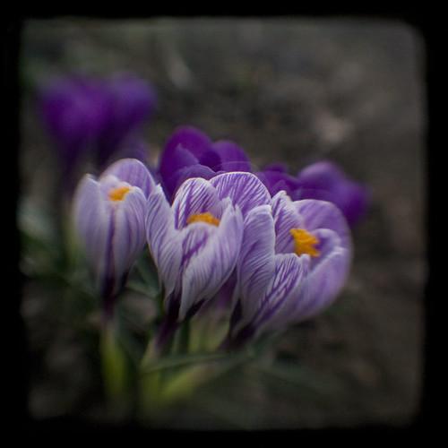 spring beauties :)