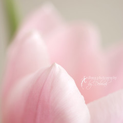 HAPPY EASTER!!!!! (dhmig) Tags: pink flower macro nature easter petals nikon nikond50 tulip softcolours beyondbokeh dhmig