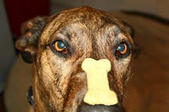 Utterly adorable mixed-breed brindled dog staring cross-eyed at a dog biscuit laid along his nose.