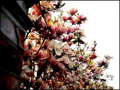 HAPPY EASTER (Loris_l@_r@na) Tags: primavera rosa bologna fiori 1001nights pasqua flickraward 1001nightsmagiccity lorisphoto