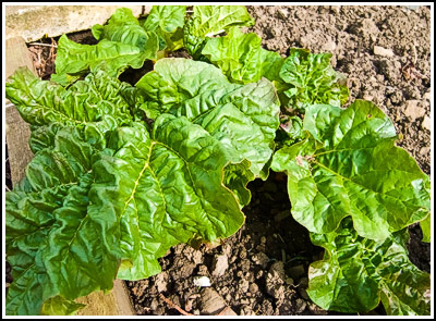 greenrhubarb