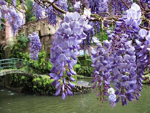 20100410-rq-montepalace-10-Wisteria sinensis