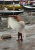 Tying Langoti 1.1 Varanasi (amiableguyforyou) Tags: india men up river underwear varanasi bathing dhoti oldmen ganges banaras benaras suriya uttarpradesh ritualbath hindus panche bathingghats ritualbathing langoti dhotar langota