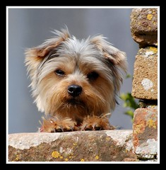 Cute 'woof!' (Levels Nature) Tags: uk england dog cute woof animal wall geotagged somerset winscombe mendip kingswood mendips topshots mendiphills natureselegantshots saariysqualitypictures blinkagain