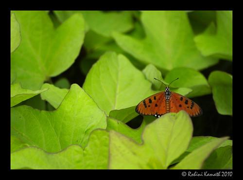 Butterfly - Id Pls
