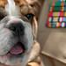 Bella, an English Bulldog, US Marines Mascot