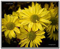 Symphony in Yellow: Happy New Year (Suvrangshu) Tags: new flower macro year canon5d punjab kolkata bengal tamilnadu yello vishu daisey kerela westbengal colur 1417 barsha nobo baishakhi indiannewyear boishak poila suvghosh puthandu suvrangshughoshphotography symphonyinyellow bangabdo poilabaishak