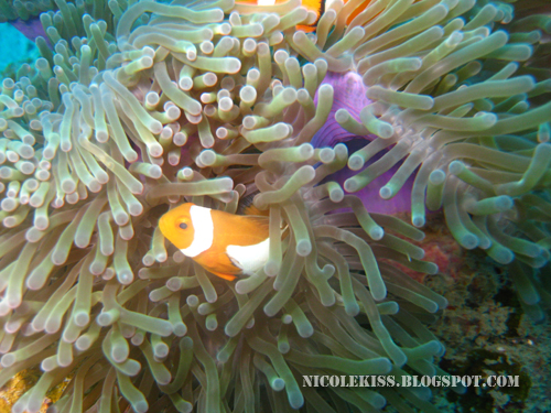 two clown fish 2