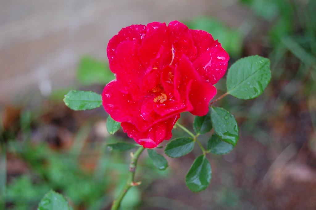 Red Radiant Rose